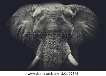 Elephant close up. Monochrome portrait - stock photo