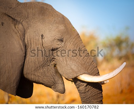 Elephant close up smiling - stock photo