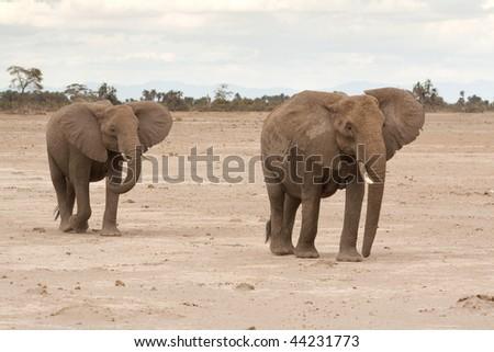 Elephant couple - stock photo