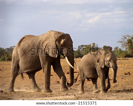 Elephant cow and calf in Amboseli Kenya