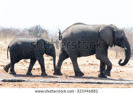 Elephant Cow and Calw. Seen during safari tour at Namibia, Africa.