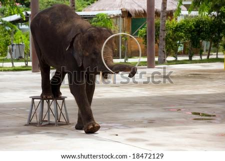 elephant doing a trick at the park china, hainan - stock photo