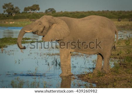 Elephant drinking from river in golden hour - stock photo