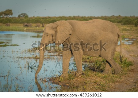 Elephant drinking from river in golden light - stock photo