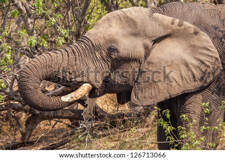 Elephant drinking water close-up - stock photo