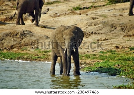 Elephant drinking water in Queen Elizabeth National Park, Uganda - stock photo