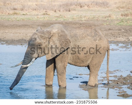 Elephant drinking water on the savanna in Tanzania, Africa.