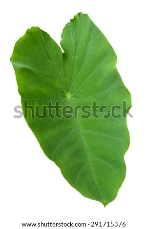Elephant Ears Taro (colocasia esculenta) leaves isolated on white background - stock photo