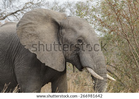 Elephant eating grass in Kruger National Park - stock photo