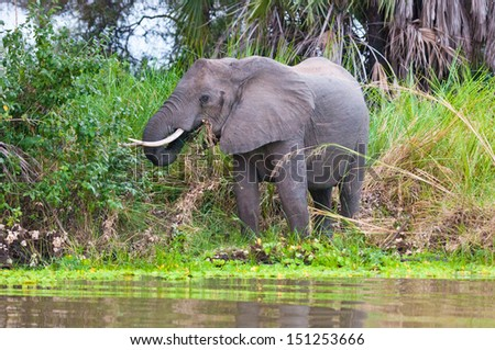 elephant eating grass on the shore of the lake manze in east africa - national park selous game reserve in tanzania - stock photo