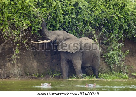 Elephant eating leafs on the bank of the river. And two hippos in the water