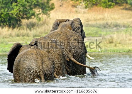 Elephant family from Uganda in the water