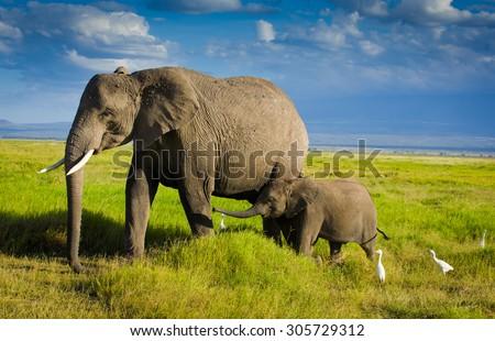 Elephant  family in Amboseli - stock photo