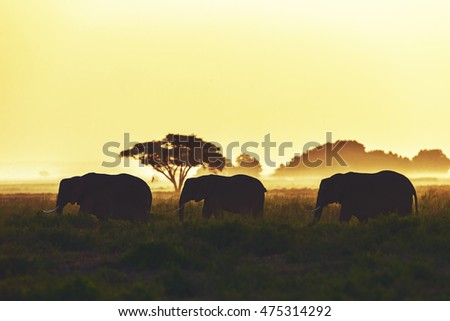 Elephant family is walking at sunset in Amboseli, Kenya. They are walking in a line.