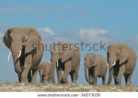 Elephant family on the move - stock photo