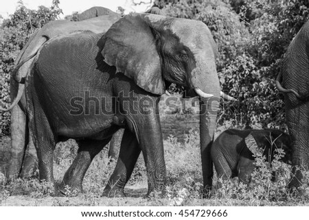 Elephant family walking through the bush, Africa