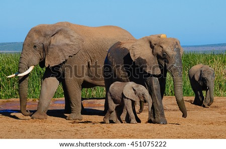 Elephant family with baby in Addo Elephant Park, South Africa, next to water hole - stock photo