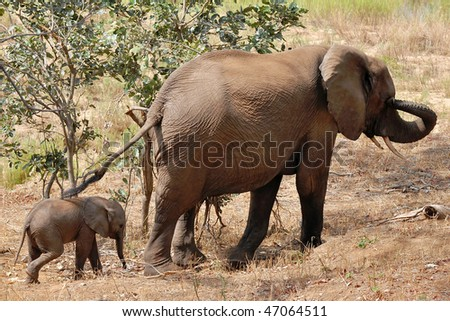 Elephant female with 2 weeks calf,Kruger NP,South Africa - stock photo