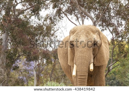 Elephant - front view