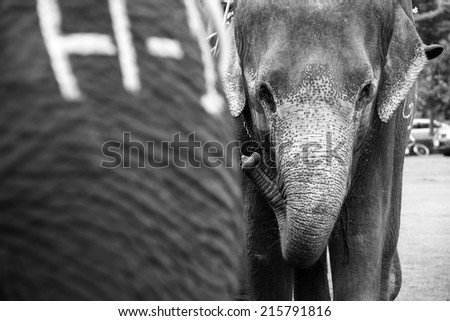 elephant gazing to the camera - stock photo