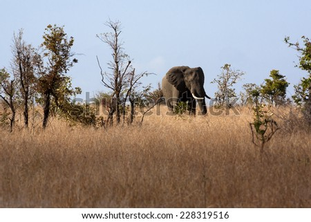 Elephant grazing - stock photo