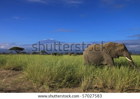 Elephant grazing in front of Kilimanjaro