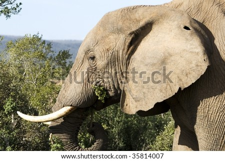 Elephant grazing in the Addo National Park