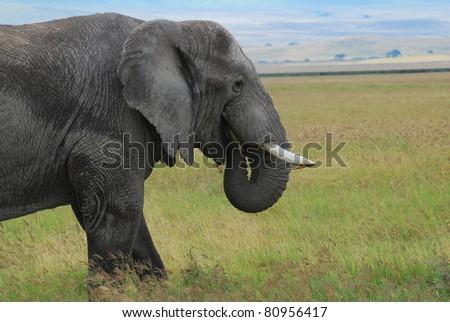 Elephant grazing on Serengeti - stock photo