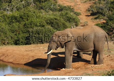 elephant having a long drink with a mate