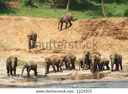 Elephant herd - stock photo