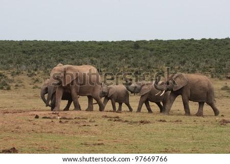 Elephant herd approaching water - stock photo