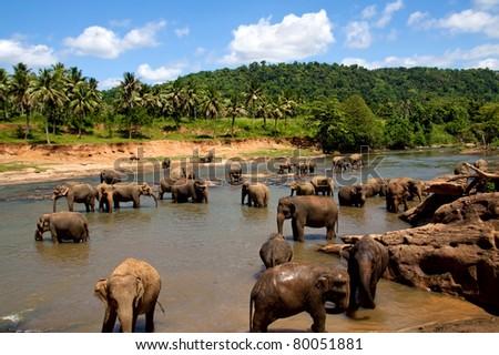 Elephant herd bathing in the river in Sri Lanka - stock photo