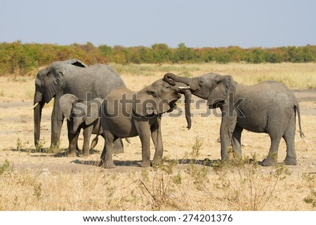 Elephant herd greeting at a waterhole on dry and hot day - stock photo