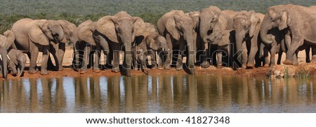 Elephant herd panorama. - stock photo