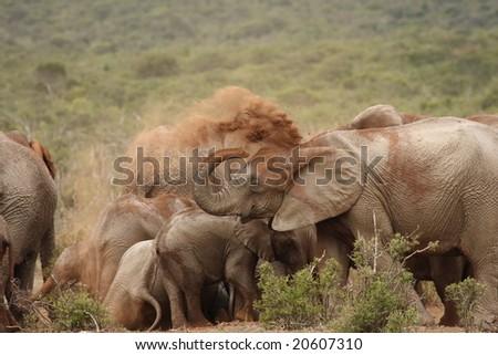 Elephant herd sharing a big dust bath. - stock photo