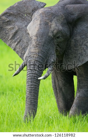 Elephant in Africa, Zambia - stock photo