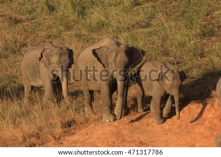 Elephant in herd