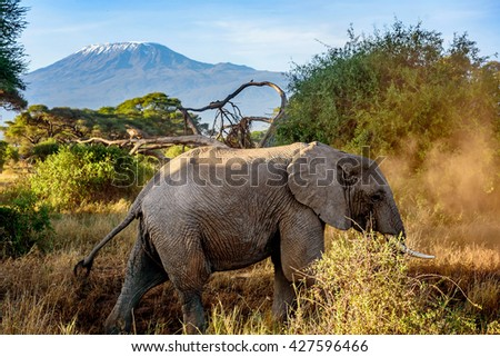 Elephant in Kenya with Kilimanjaro mount in the background, Africa - stock photo
