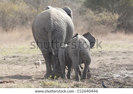 Elephant in Kruger - stock photo