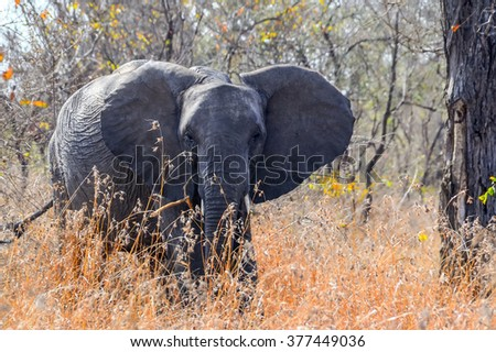 Elephant in Kruger national park - South Africa - stock photo