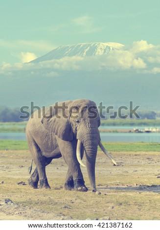 Elephant in National park of Kenya on Kilimanjaro mount background, Africa - stock photo
