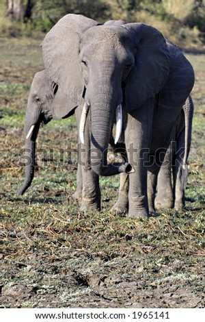 Elephant in South Luangwa - stock photo