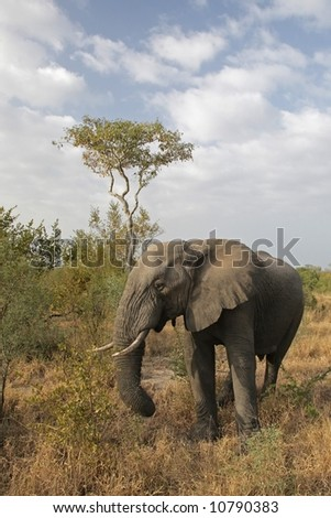 Elephant in the Kruger National Park, South Africa - stock photo