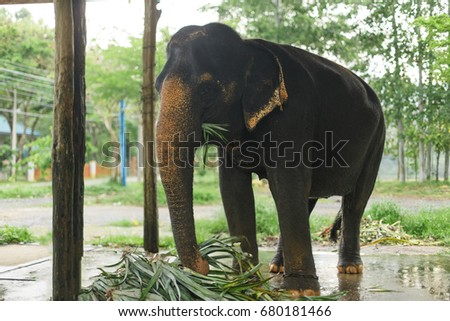 Elephant in the natural farm. Thailand, Asia