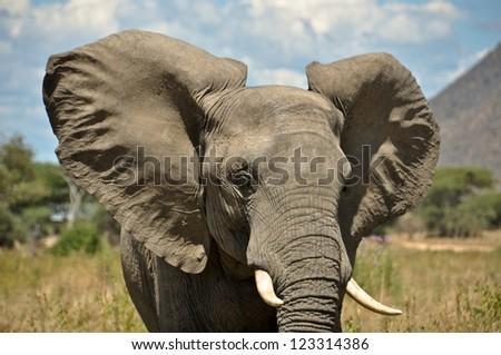Elephant in the Ruaha National Park - stock photo