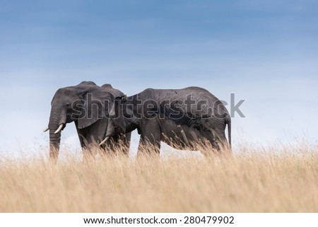 elephant in the savanna of Africa - stock photo