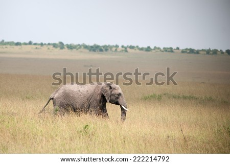 elephant in the savannah of africa - stock photo
