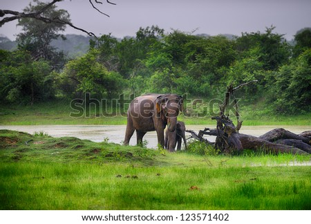 Elephant in the wild . Rainy weather. Country Of Sri Lanka