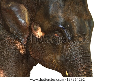 Elephant isolated against white background. With Clipping path - stock photo