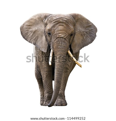 Elephant isolated on white - stock photo